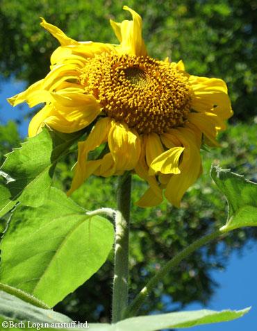 First-sunflower