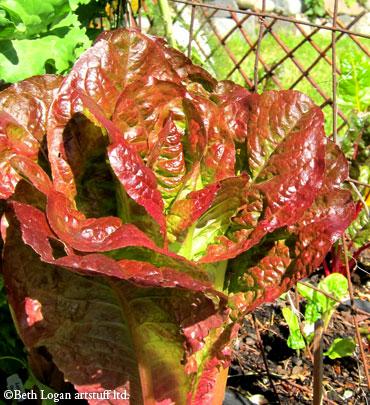 Yummy-lettuce