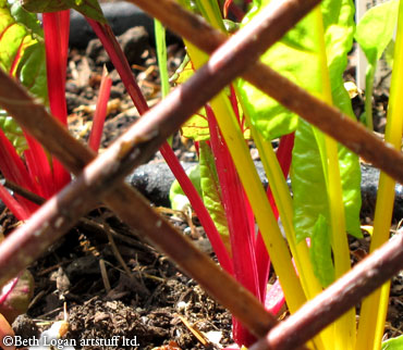 Rainbow-chard