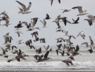 Gulls-and-pelicans-flying
