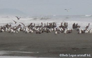 Gulls-pelicans-standing