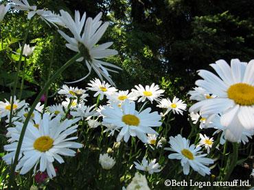 July-daisies2