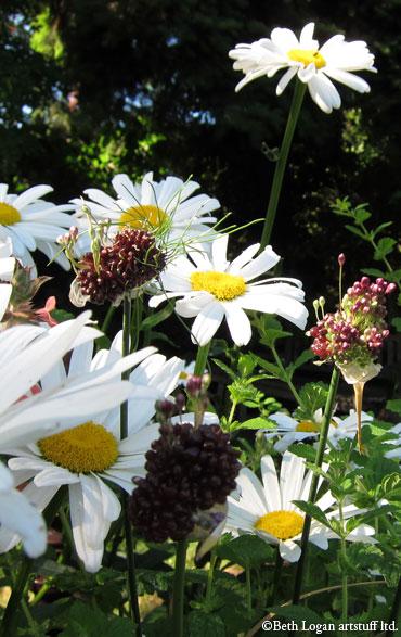July-daisies4