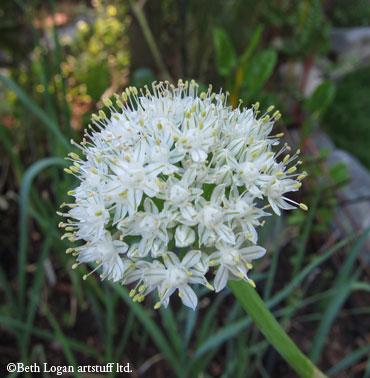 July10-onion