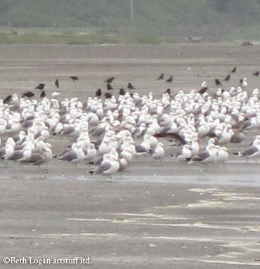 Gulls-n-crows