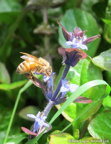 Bee-n-ajuga-2