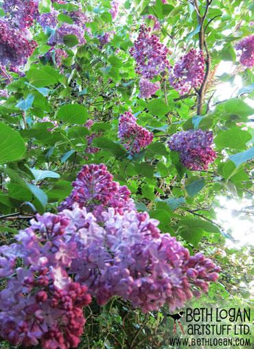 May12-lilacs