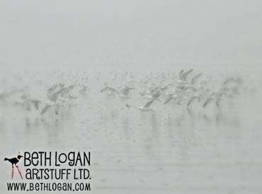 Gulls-in-fog