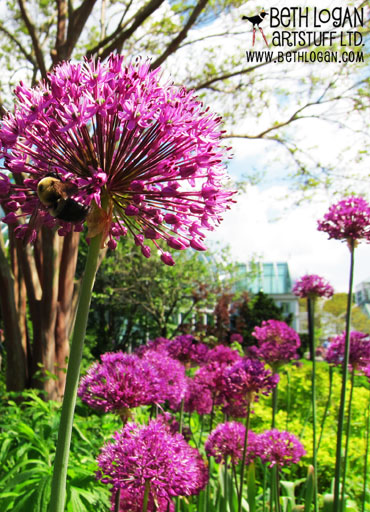 BBG-purple-allium