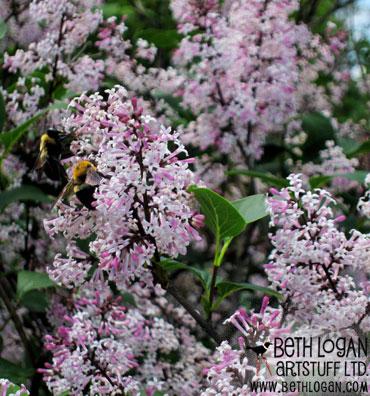 BBG-persian-lilac-bee
