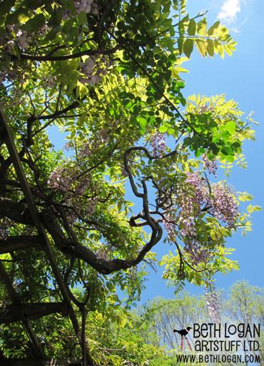 BBG-wisteria6