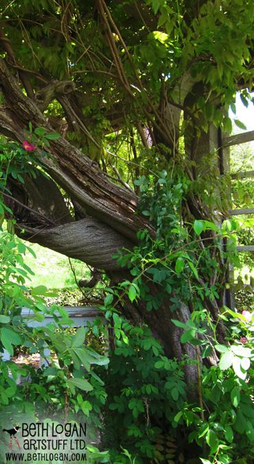 BBG-wisteria-trunk-1