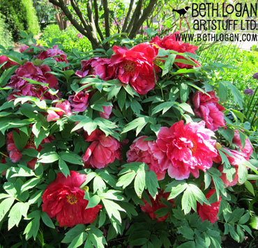 BBG-red-peonies