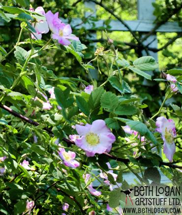 BBG-wild-roses